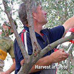 Crete Olive Harvest | Olive Oil Times