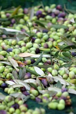 Koreiniki Olives | Olive Oil Times